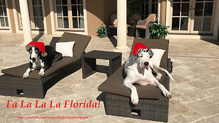 Santa Hat Wearing Great Danes Chilling out in  Florida  - Video