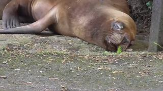 Dreaming sea lion twitches in its sleep - Video