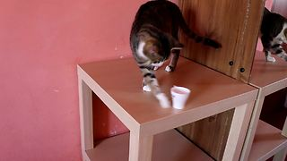 Rude cat knocks over anything placed on table - Video