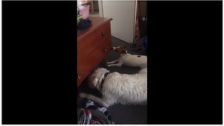 Jack Russell thinks she can eat everything - Video