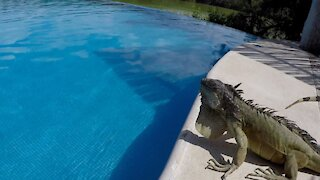 Giant iguana pushes drink right into the pool