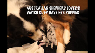 WATCH LIVE - Australian Shepherd Puppies Being Born