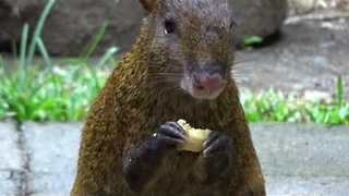 Cute Agouti Munches on Some Banana - Video
