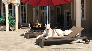 Beautiful Great Danes Enjoy a Lazy Dog Day Afternoon  - Video