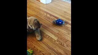 Golden Retriever puppy fights off toy shark