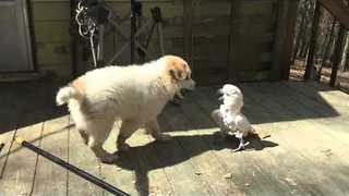Puppy and Bird Partake in Cutest Game of Chase Ever - Video