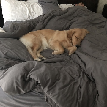 Golden Retriever gently attempts to wake up owner