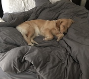 Golden Retriever Gently Attempts To Wake Up Owner - Video