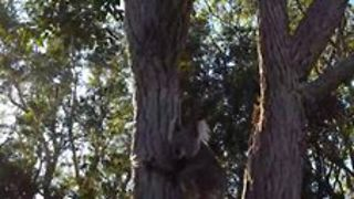 Elderly Koala Makes Her Way to Freedom - Video