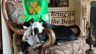 Festive Great Dane Gets Ready For Saint Patrick's Day - Video