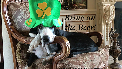 Festive Great Dane Gets Ready For Saint Patrick's Day