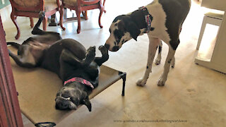Sleepy Great Dane Ignores Attempts To Wake Her Up