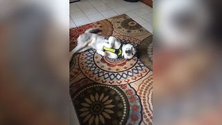 Guilty Husky Charms His Way Out Of Trouble - Video