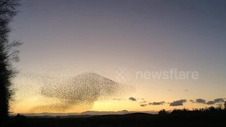 Spectacular starling murmuration creates giant mushroom shape - Video