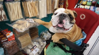 English Bulldog goes shopping at the pet store - Video