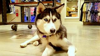 Siberian Husky dog loves visiting dog friendly stores