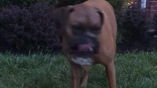 Boxer Simply Loves Playing With The Personal Water Fountain Toy - Video