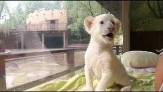 South Korean White Lions - Video