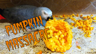 Einstein the Parrot destroys a Halloween pumpkin - Video
