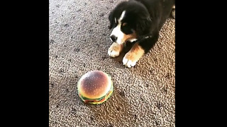 Confused puppy totally baffled by toy hamburger - Video