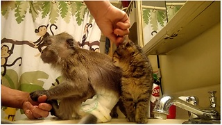 Jealous monkey & kitten scramble for owner's affection