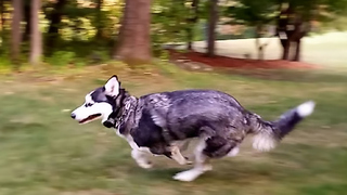 Siberian Husky Dog loves to Run Circles Around Me - Video