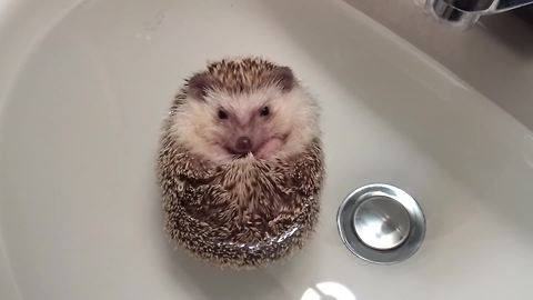 Hedgehog curls into ball, floats during bath