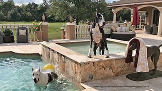 Great Danes Enjoy Chilling Out in the Pool - Video