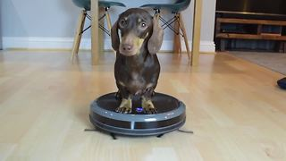 Mini Dachshund Pup Hitches A Ride On The Robot Vacuum Cleaner - Video