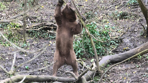 Crazy bear at the zoo tries to rip down an entire tree