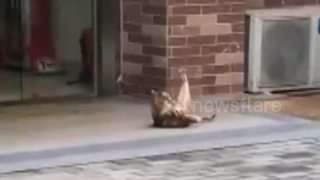 Cat caught doing sit-ups - Video