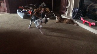 Great Dane puppy tries to impress cat