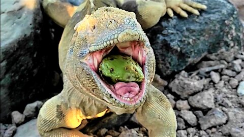 Gigantic lizard devours fruit in the Galapagos Islands