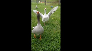 Mickey the Goose runs in for a hug - Video