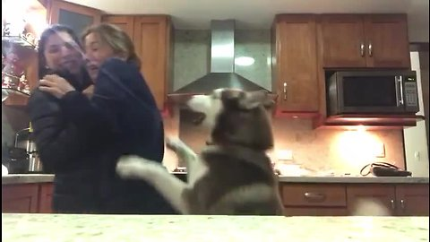 Needy husky gets super jealous of people hugging