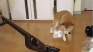 Dog struggles to escape vacuum on slippery floors - Video