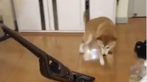 Dog struggles to escape vacuum on slippery floors