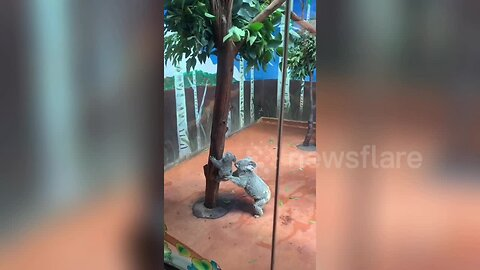 Koala mother helps her baby climb down tree at Guangzhou Chimelong Safari Park