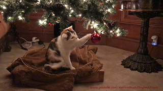 Funny Cat's First Experience With Christmas Tree Ornament  - Video