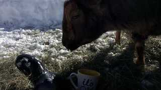 Thirsty Goat Enjoys a Stolen Coffee - Video