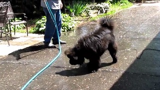 Chow Chow dog who loves to play with water