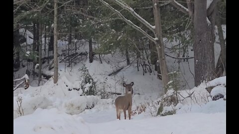 A Young Deer Gets Scared