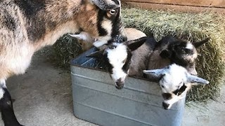 Baby Goat Finds New Mama After Being Rejected by Her Own