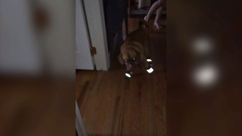 Dog Tries To Walk In Shoes