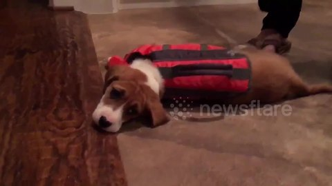 Adorable 10-week-old rescue puppy just can't stand up