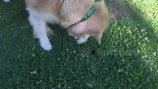 Adorable dog goes gopher-hunting in the gentlest way possible - Video