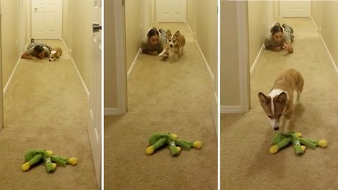 Cute Pup Demonstrates His Remarkable Stealth Attack Moves