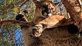 Woman Saved Son From Mountain Lion