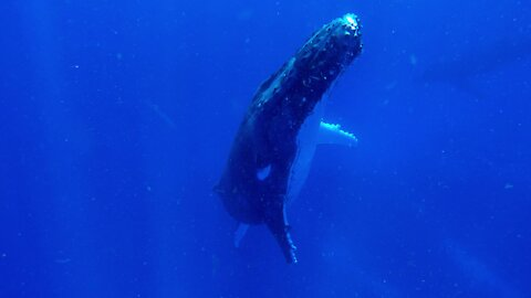 Swimmer watches in awe as gigantic humpback whale rises beside him