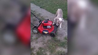 Pitbull Dog Plays With A Lawnmower In A Backyard